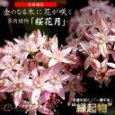 花咲く多肉植物『桜花月』(サクラカゲツ) 11cm鉢 《花芽付き》