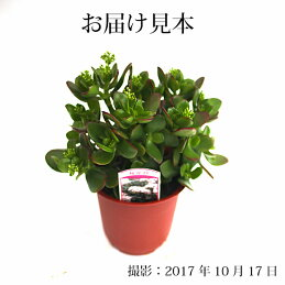 『桜花月』(サクラカゲツ)