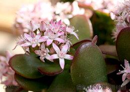 花咲く多肉植物『桜花月』(サクラカゲツ)11cm鉢《花芽付き》