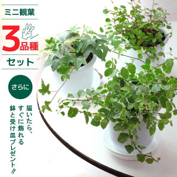 ミニ観葉植物「3品種」セット