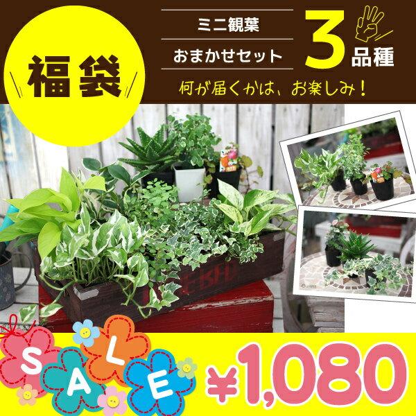 ミニ観葉『おまかせ 3品種セット』 9cmポット×3個《観葉植物3個セット》 <お買い物マラソン限定 ポイント20倍!! >