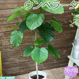ウンベラータ 7号鉢 【 受け皿プレゼント 】