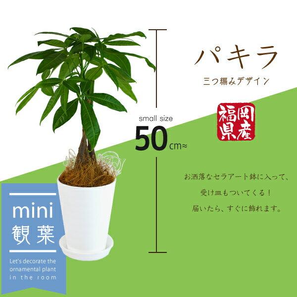 パキラ セラアート鉢スタイリッシュ3株仕立て(受け皿プレゼント付き)