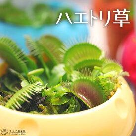 ハエトリ草 ( ハエトリソウ ) 2.5号鉢植え