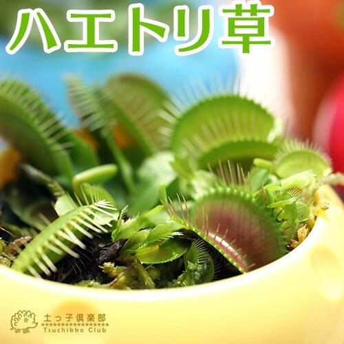 ハエトリ草(ハエトリソウ) 2.5号鉢植え