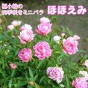 四季咲きミニバラ 『 ほほえみ 』 12cmポット苗