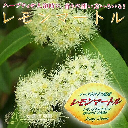 レモンの香りの『レモンマートル』 10.5cmポット苗