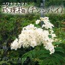 珍珠梅 (チンシバイ)【ニワナナカマド】 18cm鉢植え