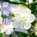 【香る花木】銀梅花(ギンバイカ) 18cmポット苗