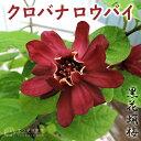 黒花蝋梅(クロバナロウバイ) 『カリカンサス・プレゼント』 5号鉢植え