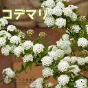 小手毬(コデマリ)18cm鉢植え
