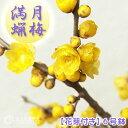 香る花木 『 満月蝋梅 ( マンゲツロウバイ ) 』 6号鉢植え 接ぎ木苗  ≪ 花芽付き ≫