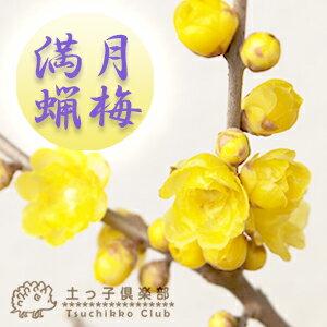 花木・庭木の苗/《※開花中》満月蝋梅(まんげつろうばい) 5号鉢植え