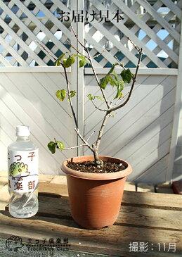【香る花木】満月蝋梅(まんげつろうばい)5号鉢植え