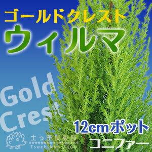 コニファー 『 ゴールドクレスト・ウィルマ 』 12cmポット苗