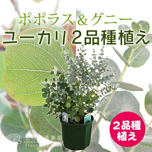 ユーカリ 2品種植え(ポポラス&グニー)8号スリット鉢