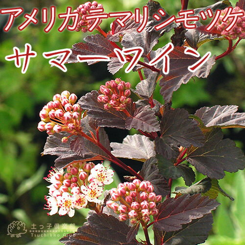 アメリカテマリシモツケ『サマーワイン』 9cmポット苗 鉢植え可 ガーデニング 植木 庭