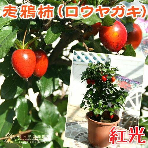 ロウヤガキ ( 老鴉柿 ) 『 紅光 』 5号鉢植え ( 老爺柿 / ロウヤカキ )