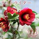 《 花芽付き 》 椿( ツバキ )『 ナイトライダー 』 12cmポット苗