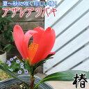 椿 『 アザレアツバキ 』 ( 四季咲き性 ) 9cmポット苗 【 珍種 】