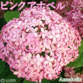 アジサイ 『 ピンクアナベル 』 10.5cmポット苗