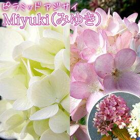 アジサイ ピラミッドアジサイ Miyuki(みゆき) 10.5cmポット苗
