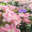 八重咲きアジサイ 『 ダンスパティ 』 10.5cmポット苗