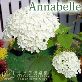 アジサイ 『 アナベル 』 白 6号スリット鉢植え 苗木