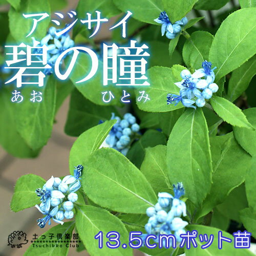 常緑アジサイ 『 碧の瞳 』 アオノヒトミ 13.5cmポット苗 【 珍種 】