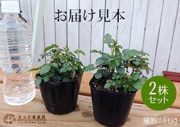 ミニバラ『グリーンアイス』9cmポット苗【2個セット】