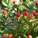 ローズヒップ 『 センセーショナルファンタジー 』 5号鉢植え ≪ 実付き ≫