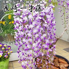 長崎一才藤 ( 花ふじ ) 6号鉢植え 《 花芽付き 》