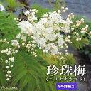 珍珠梅 ( チンシバイ ) 『 ニワナナカマド 』 5号鉢植え