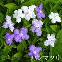 香るバンマツリ 6号鉢植え( ニオイバンマツリ )《 花芽付き 》