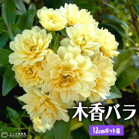 木香バラ ( 黄色 八重咲 ) 12cmポット苗