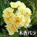 木香バラ ( 黄色 八重咲 ) 9cmポット苗