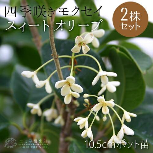 スィートオリーブ 『 四季咲きモクセイ 』 10.5cmポット苗 【 2個セット 】
