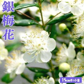 香る花木 『 銀梅花 ( ギンバイカ ) 』 15cmポット苗