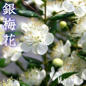 香る花木 『 銀梅花 ( ギンバイカ ) 』 9cmポット苗 【 2個セット 】