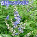 【楽天スーパーSALE 半額商品!】西洋ニンジンボク ( チェストツリー ) 12cmポット苗