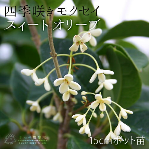 スィートオリーブ『四季咲きモクセイ』5号(15cm)ポット苗 鉢植え可 ガーデニング 庭 秋