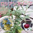 ロシアンオリーブ( 細葉グミ ) 10.5cmポット苗