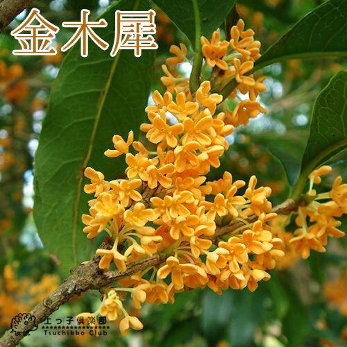 キンモクセイ(金木犀) 15cmポット苗 鉢植え可 ガーデニング 庭 秋