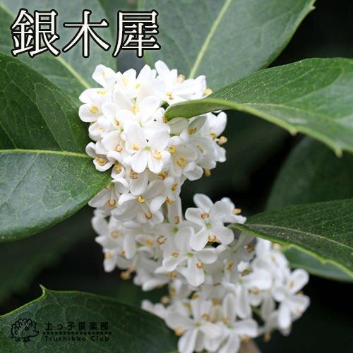 ギンモクセイ(銀木犀) 15cmポット苗 鉢植え可 ガーデニング 庭 秋
