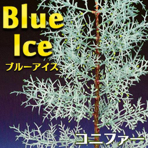 コニファー 『 ブルーアイス 』 15cmポット苗