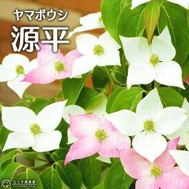 やまぼうし 『 源平ヤマボウシ 』 13.5cmポット苗
