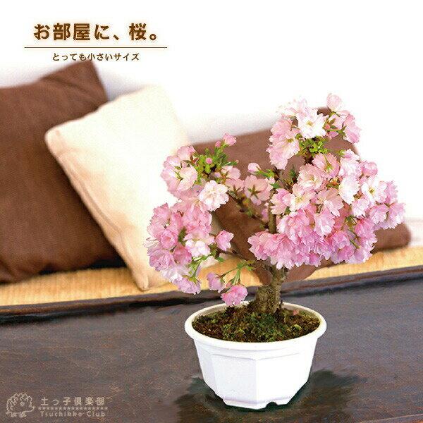 桜 盆栽 ミニ 一才桜 『旭山(あさひやま)』《花芽付き!!》※2018年春開花予定