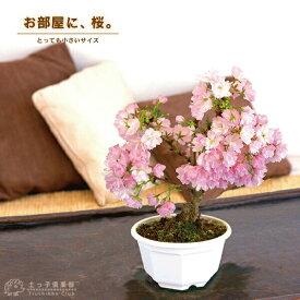 桜盆栽 一才桜 『 旭山 ( あさひやま )』《 花芽付き 》