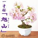 【サクラ盆栽】 一才桜 『旭山(あさひやま)』《花芽付き!!》