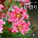 サルスベリ『ペパーミントレース(夏祭り)』 12cmポット苗